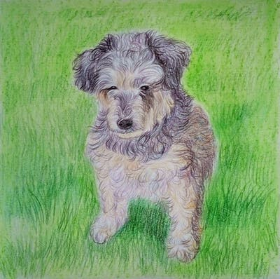 A painting of dog, dog like mammal, dog breed, terrier, snout, schnoodle, cairn terrier, miniature schnauzer, companion dog, carnivoran