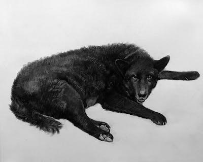 A painting of dog, dog like mammal, dog breed, dog breed group, shiloh shepherd dog, belgian shepherd, king shepherd, dog crossbreeds, kunming wolfdog, carnivoran
