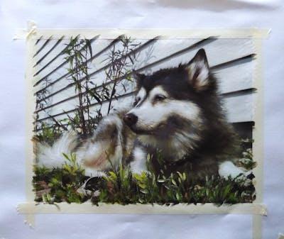 A painting of dog breed, siberian husky, sakhalin husky, dog like mammal, dog, alaskan malamute, dog breed group, sled dog, native american indian dog, snout