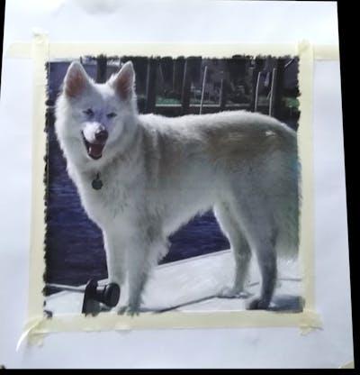 A painting of dog, dog like mammal, dog breed, dog breed group, berger blanc suisse, native american indian dog, white shepherd, canadian eskimo dog, volpino italiano, samoyed