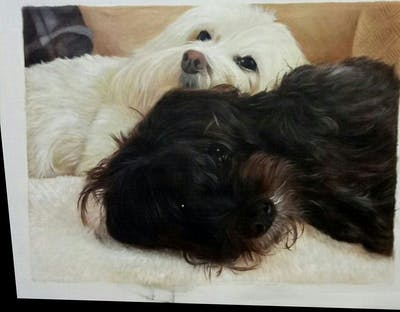 A painting of dog like mammal, dog breed, dog, maltese, dog breed group, havanese, poodle crossbreed, dog crossbreeds, schnoodle, bolonka
